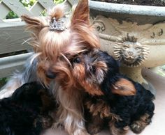 "Awesome ""Yorkshire terrier dogs"" info is available on our website. Yorky Terrier, Yorshire Terrier, Yorkshire Terrier Haircut, Yorkshire Terrier Puppies, Yorkshire Dog, Cute Puppies, Cute Dogs, Dogs And Puppies, Schnauzers"