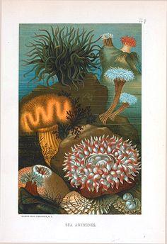 Animal - Curiosity - Sea anemones