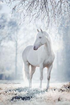 White horse via ~ VoyageVisuel ✿⊱╮ by VoyageVisuel - Winter - Horse Horses In Snow, Cute Horses, Pretty Horses, Horse Love, Wild Horses, Black Horses, Animals In Snow, Andalusian Horse, Friesian Horse