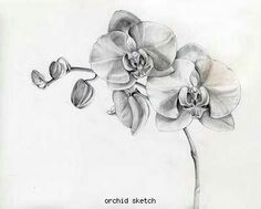 Orchid sketch