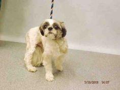 Manhattan center HARRY – A1081186  MALE, WHITE / BLACK, SHIH TZU MIX, 3 yrs STRAY – STRAY WAIT, NO HOLD Reason STRAY Intake condition UNSPECIFIE Intake Date 07/13/2016, From NY 11212, DueOut Date 07/16/2016,