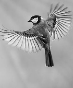 Animal Photography - Photograph by Sue Demetriou Great Tit, Most Beautiful Birds, Phoenix Bird, Paper Birds, Bird Artwork, Bird Drawings, Nature Photos, Art Nature, Animal Tattoos
