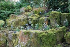 The RHS garden at Rosemoor -- Snowdrops grow high up on the rocky banks. All the better for admiring the fine detail of their skirts.