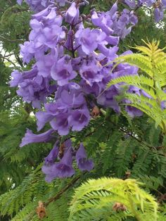 Jacaranda (jacaranda mimosifolia): This is a lovely Jacaranda tree. A native of Brazil it does wonderfully in mild winter areas throughout the world with its fern-like foliage, and spectacular lavender-blue, tubular clusters of flowers in the spring or summer. Needs full sun and moderate water.