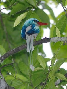 Biak Paradise Kingfisher-Tanysiptera riedelii: endemic to the Indonesian island of Biak