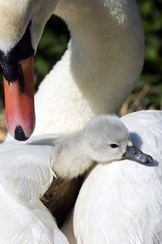 Mute swan & Cygnet
