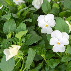 Viola White Flower   Plant Capsule for Smart Garden   Plantui White Flowers, Beautiful Flowers, Smart Garden, Deck With Pergola, Planting Flowers, Bloom, Walkway, Plants, Sidewalk