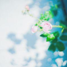* 梅雨の晴れ間 * #sony #sonyalpha #sonya7 #a7 #vscocam #vscoflower #instaflower #flower #rose