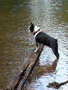 Toby, Boston Terrier from PA loves the creek