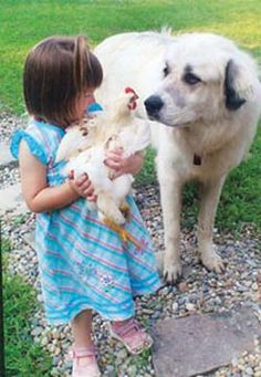 No More Chicken Dinner: Training Dogs Around Poultry by Ashley Haffey from the August/September, 2011 issue of Backyard Poultry