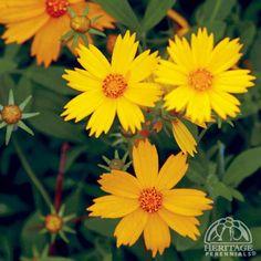 Star Coreopsis –Coreopsis pubescens 'Sunshine Superman'