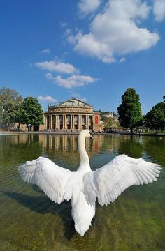 Swan spreading its wings, the Staatstheater or State Theatre at back, Grosses Haus, Stuttgart, Baden-Wuerttemberg, Germany, Europe. All prints are professionally printed, packaged, and shipped within 3 - 4 business days. Choose from multiple sizes and hun