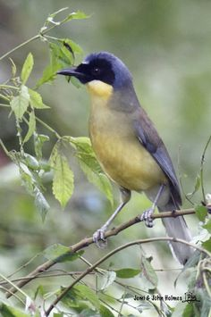Blue-crowned Laughingthrush. China, critically endangered