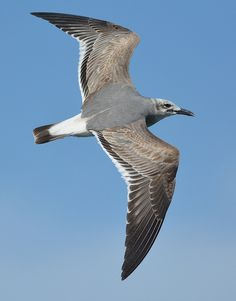Laughing Gull | by FloridaFlicker