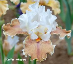 TB Iris germanica 'Coffee Whispers' (Blyth, 1999)