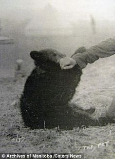 Century-old images of the original Winnie-the-Pooh, after whom the real Christopher Robin would name his childhood teddy bear, have been released. In celebration of the book Winnie the Pooh being a 100 years old. The Real Christopher Robin, Vintage Teddy Bears, Vintage Toys, Canadian Soldiers, Bear Photos, Old Images, Old Photographs, Pooh Bear, Frases