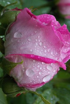 Dew on a rose a poem by Dixie All Poetry