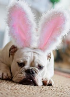 Easter Bulldog   Some of the Bulldog Collections we have had so far: