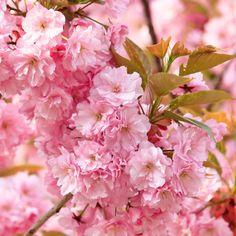 "Flowering Cherry Prunus ""Kanzan"""
