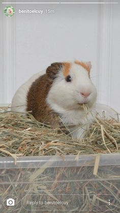 Cute Guinea Pigs, Bunnies, Cute Animals, Kitty, My Favorite Things, Halloween, Memes, Guinea Pigs, Animals Beautiful