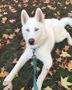Training Siberian Husky Puppies - Huskypuppies.forsale