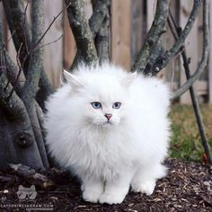"""From cattery: """"Fluffy yet fierce"""" White Persian Kittens, White Cats, Funny Animal Memes, Funny Animals, Cute Animals, Big Cats, Cats And Kittens, Animal Pictures, Cute Pictures"""