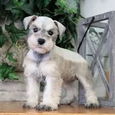 Image result for blue merle miniature schnauzer