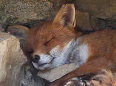 snuggled in ~ renard