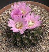 The Cactus Page - Family Cactaceae Succulent Plants, Planting Succulents, Cacti, Woodpecker Feeder, Cactus Names, Barrel Cactus, Yellow Flowers, Cactus Plants, Succulents