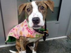 URGENT - Manhattan Center    MAGALY - A0991973   FEMALE, Y BRINDLE / WHITE, PIT BULL MIX, 10 mos  STRAY - STRAY WAIT, NO HOLD Reason STRAY   Intake condition NONE Intake Date 02/19/2014, From NY 10461, DueOut Date 02/22/2014 Main thread: https://www.facebook.com/photo.php?fbid=761802653832616&set=a.617938651552351.1073741868.152876678058553&type=3&permPage=1