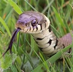 Snake is fire medicine, the medicine of transmutation. On a material level, it is vitality; on an emotional level, it is ambition and dreams; on a mental level, it is intellect and power; on a spiritual level (the highest level), it is wisdom, understanding and wholeness. Snake magic is heavy magic.