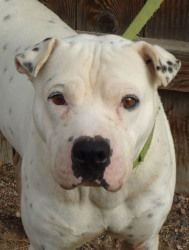 COLORADO ~ URG'T ~ Petey  an #adoptable Pit Bull Terrier Dog in #Evans,  All adoptions include: Spay/neuter If the animal is not yet spayed or neutered: Every animal will be spayed or neutered prior to going home wit... #adopt Petey at the Humane Society of Weld County in  Evans, CO ph 970-506-9550 --pin 1.8.13