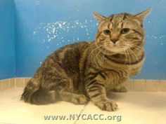TO BE DESTROYED 12/1/13 Brooklyn Center  My name is RUFUS. My Animal ID # is A0985834. I am a male brn tabby brn tabby. The shelter thinks I am about 6 YEARS old.  RUFUS is a gorgeous, healthy and SWEET boy that has been dumped at ACC as a stray. https://www.facebook.com/photo.php?fbid=707768435901658&set=a.576546742357162.1073741827.155925874419253&type=3&theater