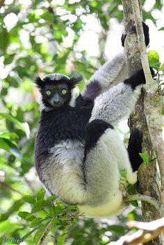 Indri, Madagascar. | Flickr - Photo Sharing!