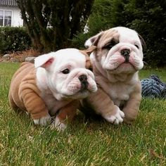 "788 Beğenme, 7 Yorum - Instagram'da Bulldog Zone (@bulldog.zone): ""Amazing pic  ‼️ Please Follow Our Profile ➡️ @bulldog.zone Like to tag? Double tap and Tag a…"""