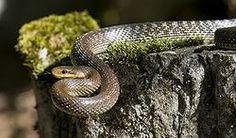 Iowa Rat Snake