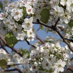 The Cleveland Pear is a hardy ornamental tree with year-round appeal.  Because this tree is more tall than broad, it nestles neatly into a narrow spot between other plants or looks great in rows along a street or sidewalk. It's a moderate to fast grower, so in no time at all you'll be enjoying its spectacular display.  #garden #spring #gardenchat #trees #flowers #gardening #plants
