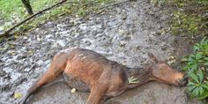 "Change the law for animal abusers in Slovenia! | FOTO magazine: ""Horses are dying in mud. Firemen say that up to two horses a week die in this man's barn. The animals are starving and cows are standing knee deep in their own feces."" Click for details and please SIGN and share petition. Thanks."