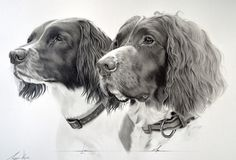 Commission - Springer Spaniels Luci and Max by Captured-In-Pencil on @DeviantArt