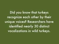 """Did you know that turkeys recognize each other by their unique voices?..."""