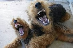 Airedales have surprising teeth