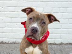 BABY ALERT!!!   TO BE DESTROYED - WEDNESDAY - 4/30/14, BROOKLYN CENTER   CYN -A0997114   FEMALE, BR BRINDLE, AM PIT BULL TER MIX, 6 mos  STRAY - EVALUATE, NO HOLD Reason STRAY  Intake condition NONE Intake Date 04/19/2014, From NY 11226, DueOut Date 04/22/2014  https://www.facebook.com/photo.php?fbid=790168037662744&set=a.790142100998671.1073743106.152876678058553&type=3&theater