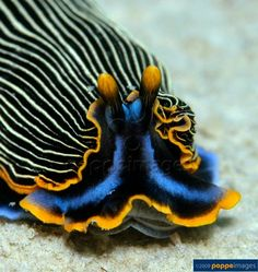Sea slug nudibranchia (Armina japonica cf.)