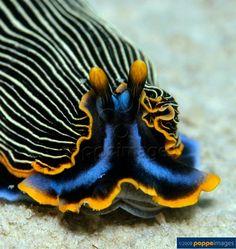 Sea slug nudibranchia (Armina japonica cf.)