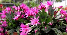 Celebrate the season with a long-lasting Easter cactus. This houseplant produce vibrant, tropical flowers. Easter Cactus, Easter Flowers, Cactus Care, Lenten Rose, Shady Tree, Christmas Cactus, Spring Blooms, Potting Soil, Tropical Flowers