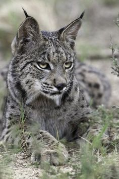 Iberian Lynx (Lynx pardinus) is found only in two small areas of southwest Spain. It is the most endangered wild cat species in the world; will probably go extinct in 50 years if nothing is done.
