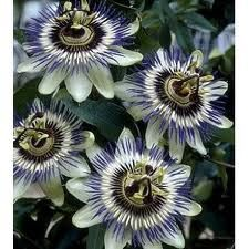 maracuja flower - Google Search