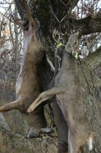 What's Your Deer Processing Horror Story? on http://www.deeranddeerhunting.com