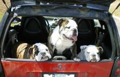 Jasper, Shady and Bacardi off to the dog show in the smart car