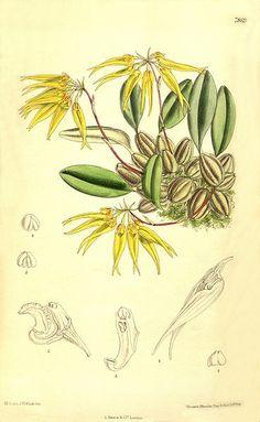 Bulbophyllum muscicola